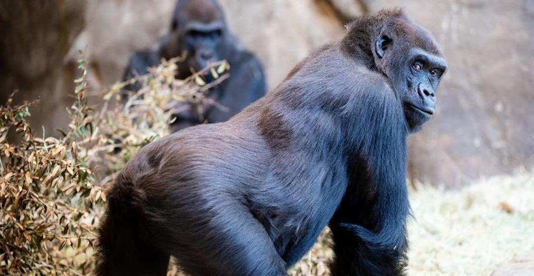 The Woodland Park Zoo welcomes the birth of their 14th baby gorilla
