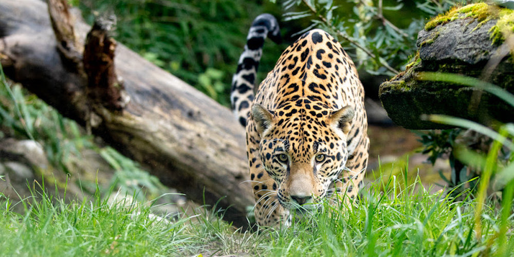 Woodland Park Zoo welcomes a new resident jaguar (PHOTOS)