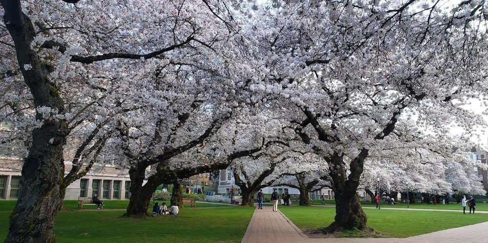 University of Washington sets up live feed of cherry blossoms for those self isolating