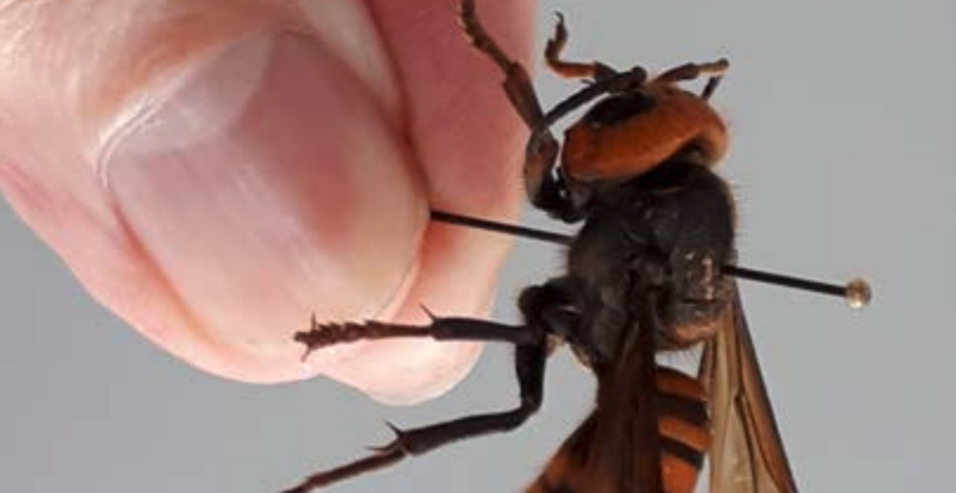 "A ""murder hornet"" has been trapped near the Canadian border"