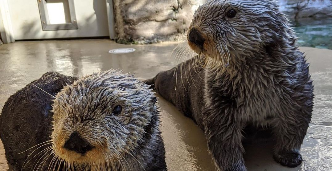 The Seattle Aquarium is live streaming its adorable seals and sea lions (VIDEOS)