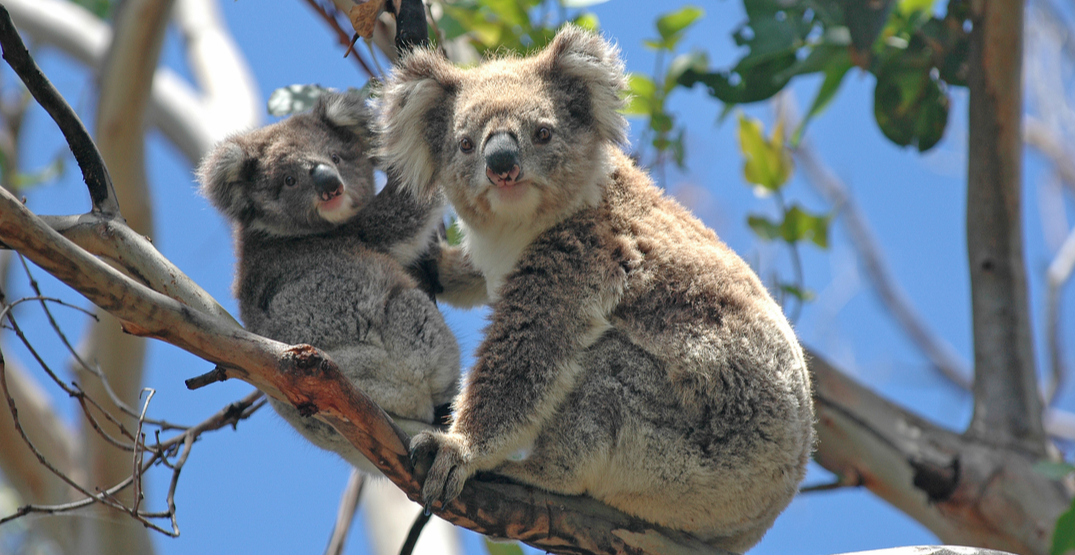 Koalas are returning to the wild following the Australian bushfires