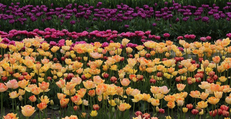 Annual Skagit Valley Tulip Festival cancels 2020 season