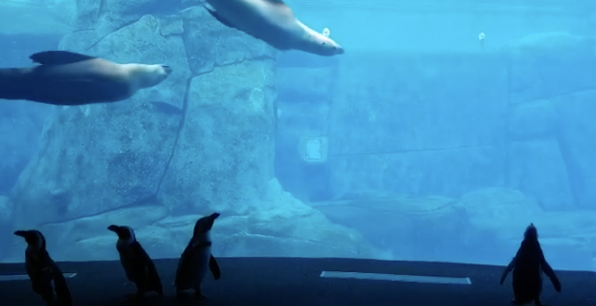 Watch adorable penguins explore the Vancouver Aquarium (VIDEOS)