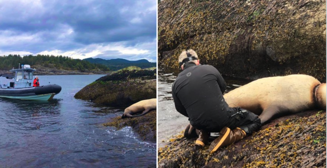 Vancouver rescue teams join forces to save sea lion tangled in plastic