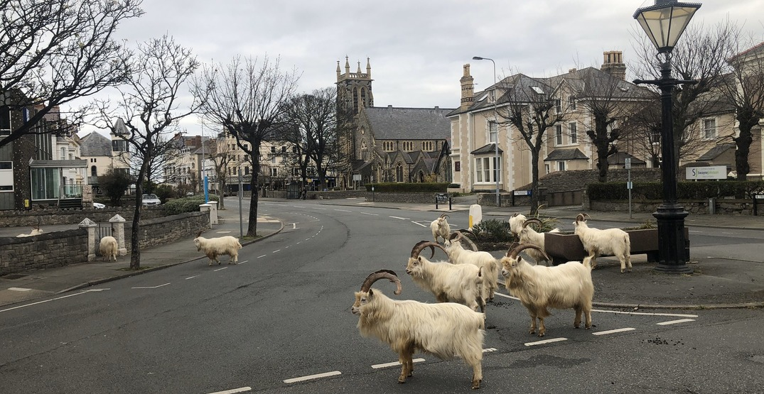 Goats are taking over this quaint Welsh town: report