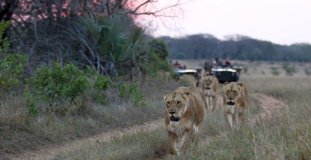 Go on an epic South African safari without leaving the house (VIDEOS)