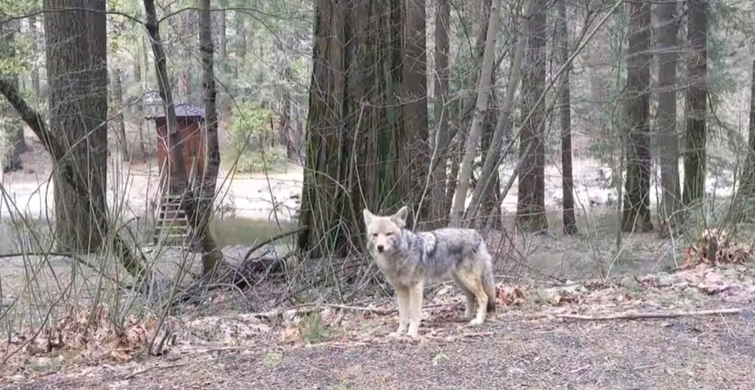 Yosemite National Park is full of animals now that humans have stopped visiting (VIDEO)
