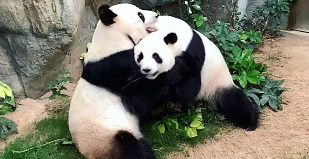 Panda pair hooks up after a zoo spent 10 years trying to get them to mate