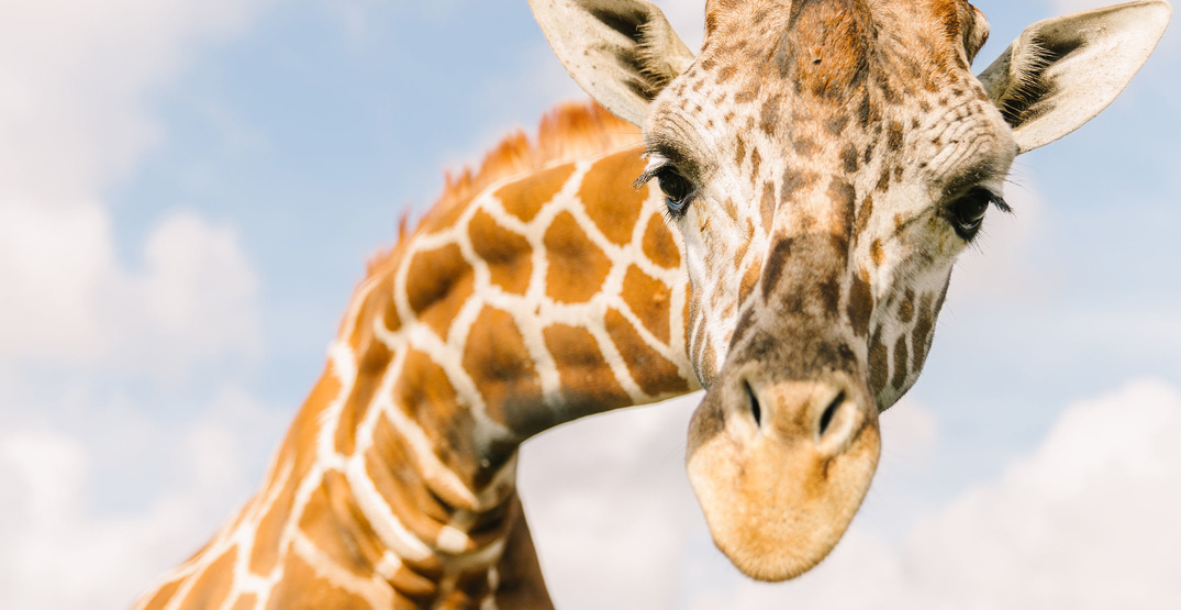 Your next Zoom call could be with a camel, giraffe, or alligator