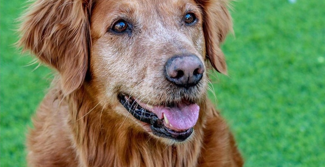 A therapy dog is providing virtual therapy sessions for frontline workers
