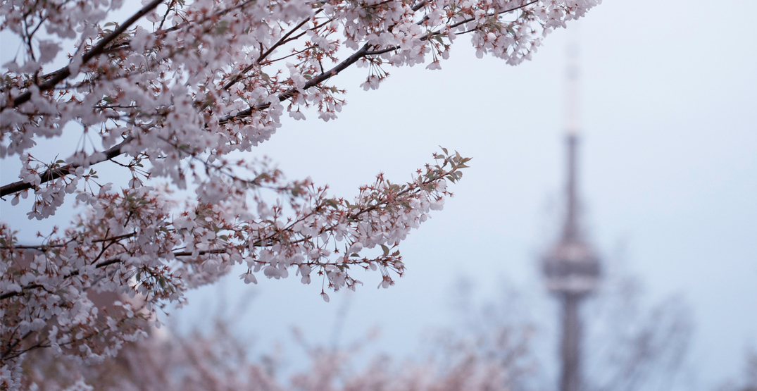 Toronto's cherry blossoms bloom to be viewed online this year