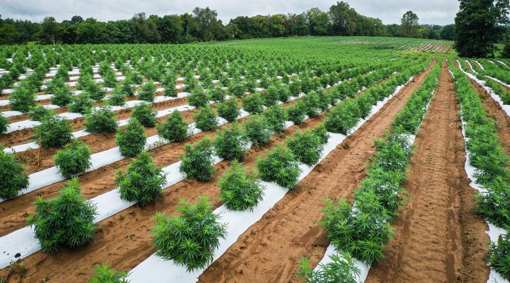 What makes cannabis essential during the economic shutdown?