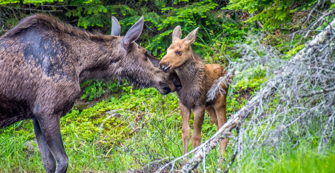 Moose and calf relocated after wandering into Edmonton (VIDEO)
