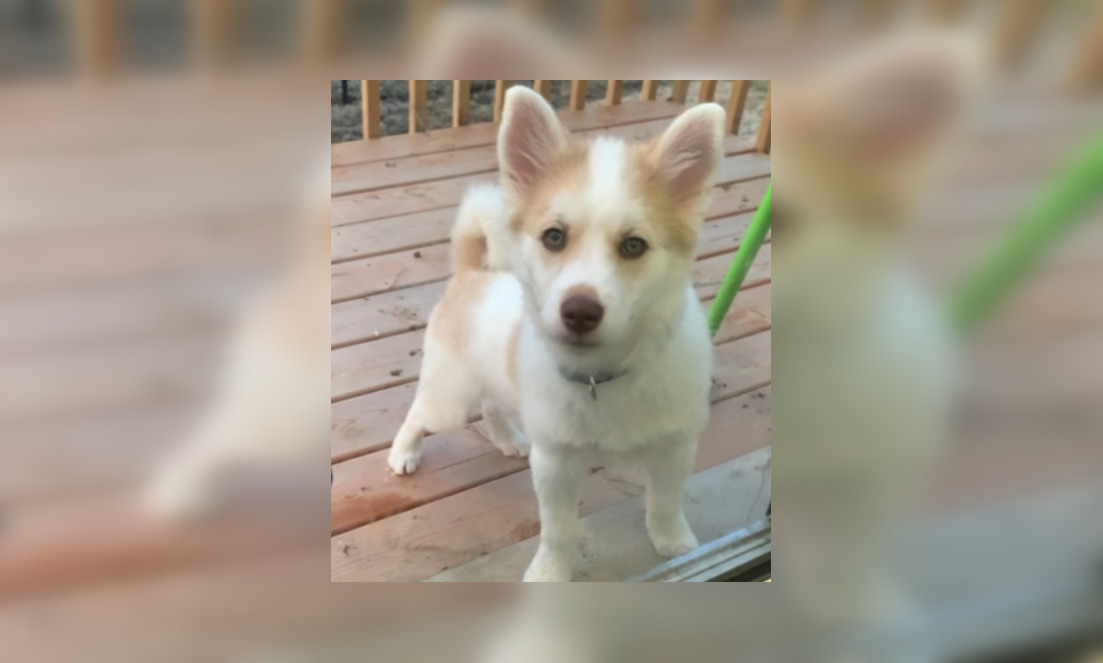 Puppy reportedly stolen with vehicle in GTA (PHOTO)