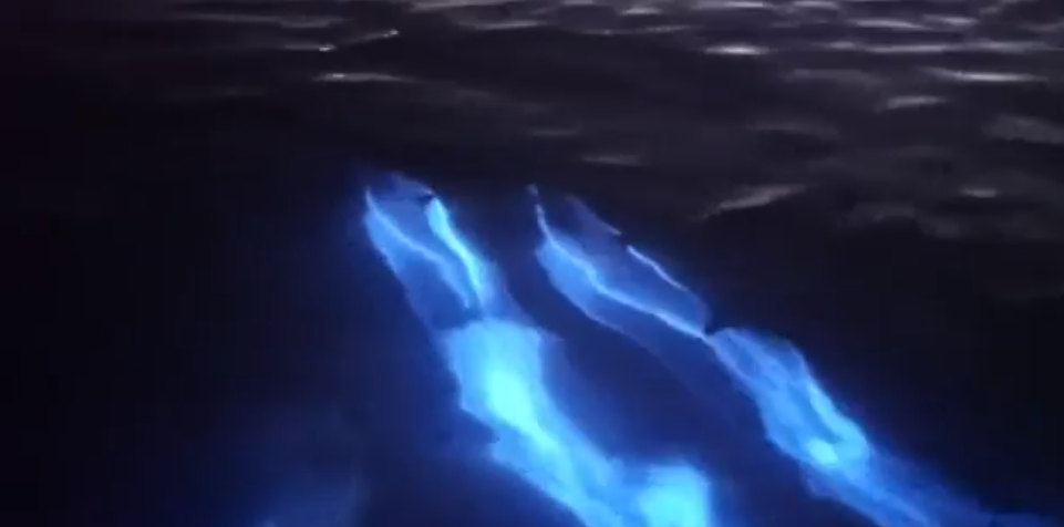 Watch the magic unfold as dolphins frolic in bioluminescent water (VIDEOS)
