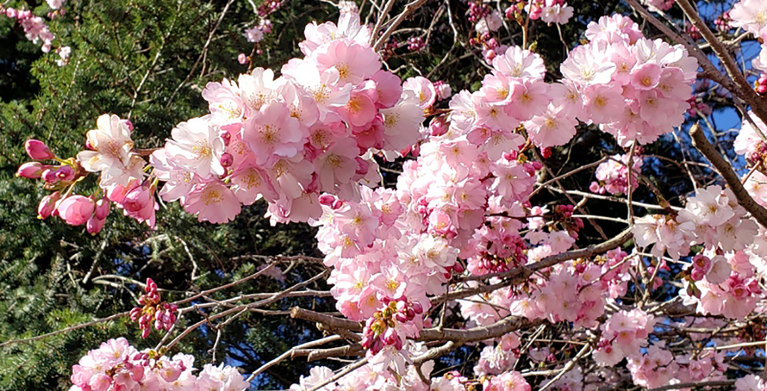 Check out Vancouver Cherry Blossom Festival's virtual tree walks and concert