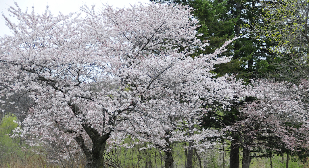 Here's how you can watch High Park's cherry blossom bloom
