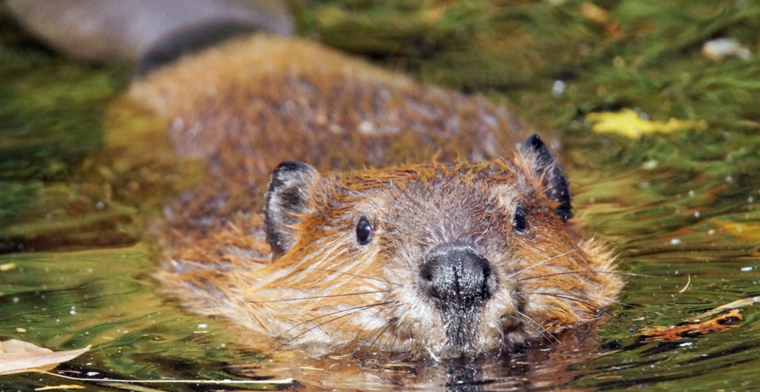 Animal rights groups offer reward after skinned beaver carcass found in Richmond