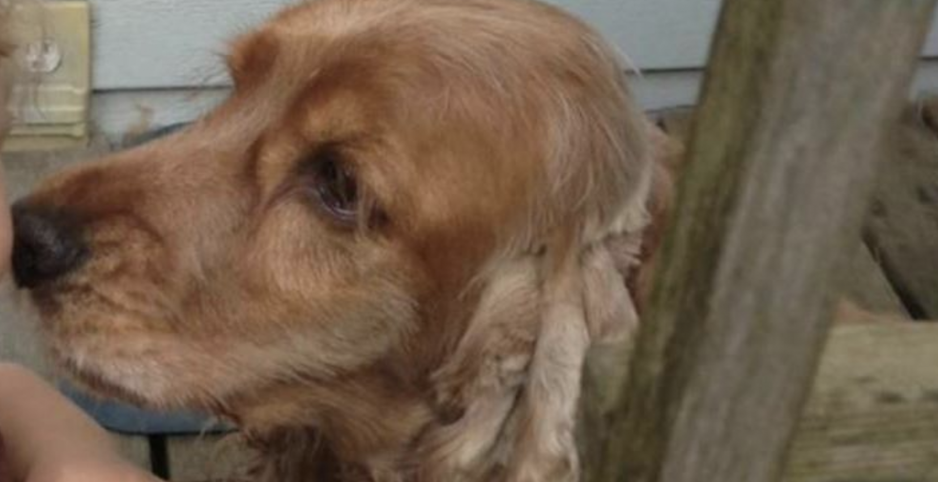 16-year-old English Cocker Spaniel stolen in Vancouver on weekend: VPD