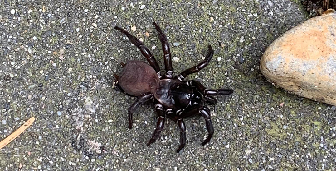Rare spider spotted by Vancouver Island woman and her dog