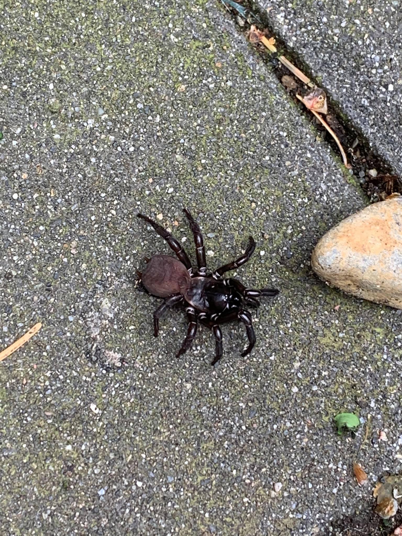 pacific folding door spider