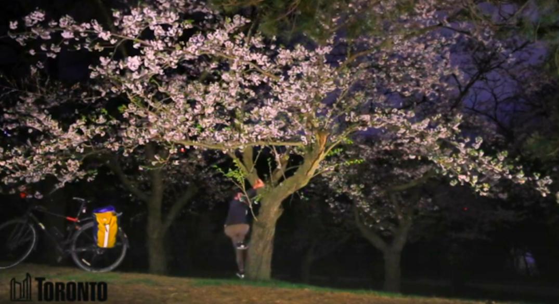 Man seen climbing cherry blossom tree in High Park livestream