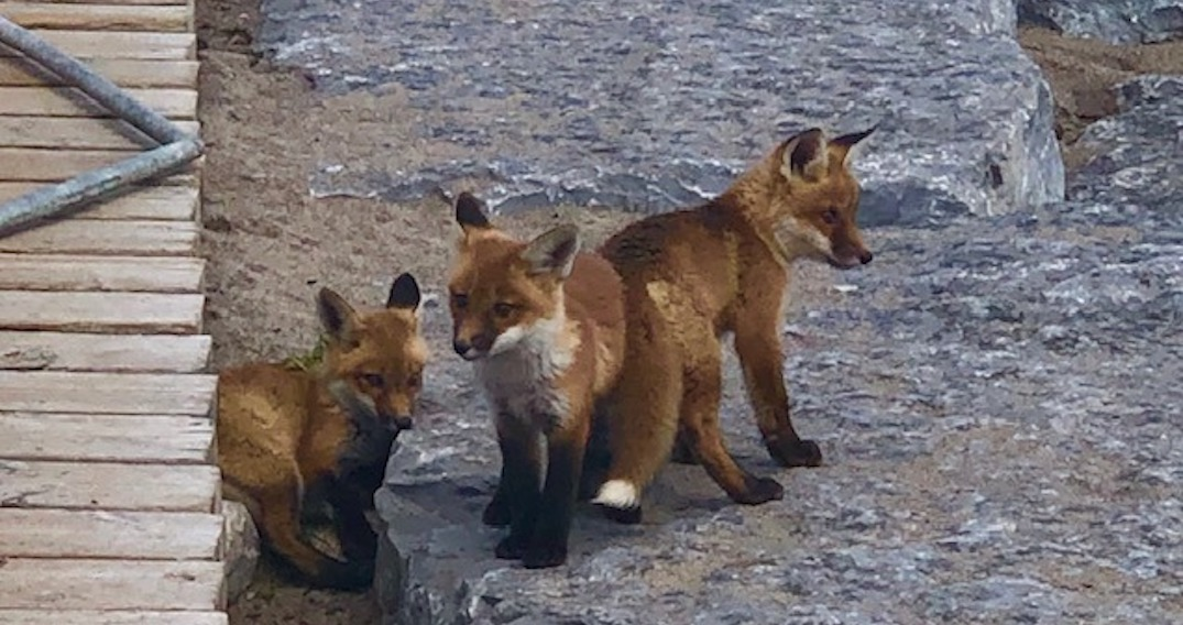 City erects barricades to protect the east end's fox family