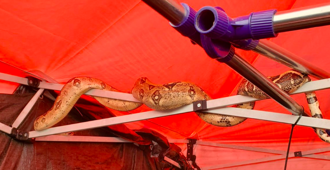 Vancouver police find boa constrictor after responding to call at Oppenheimer Park