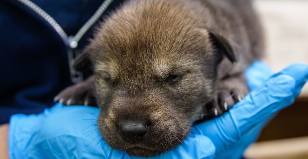 "US zoo welcomes new litter of ""critically endangered"" wolf pups (PHOTOS)"
