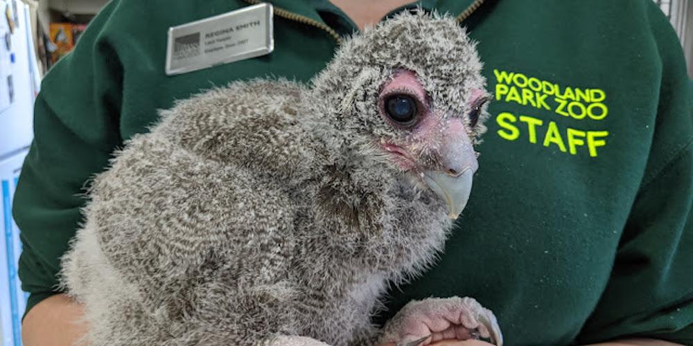 Woodland Park Zoo has a new ambassador animal: Jibini the milky eagle owl (VIDEO)