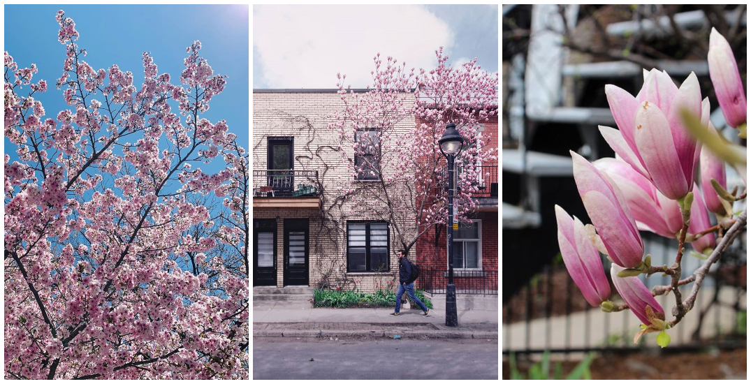 Beautiful pink trees are blossoming all over The Plateau (PHOTOS)