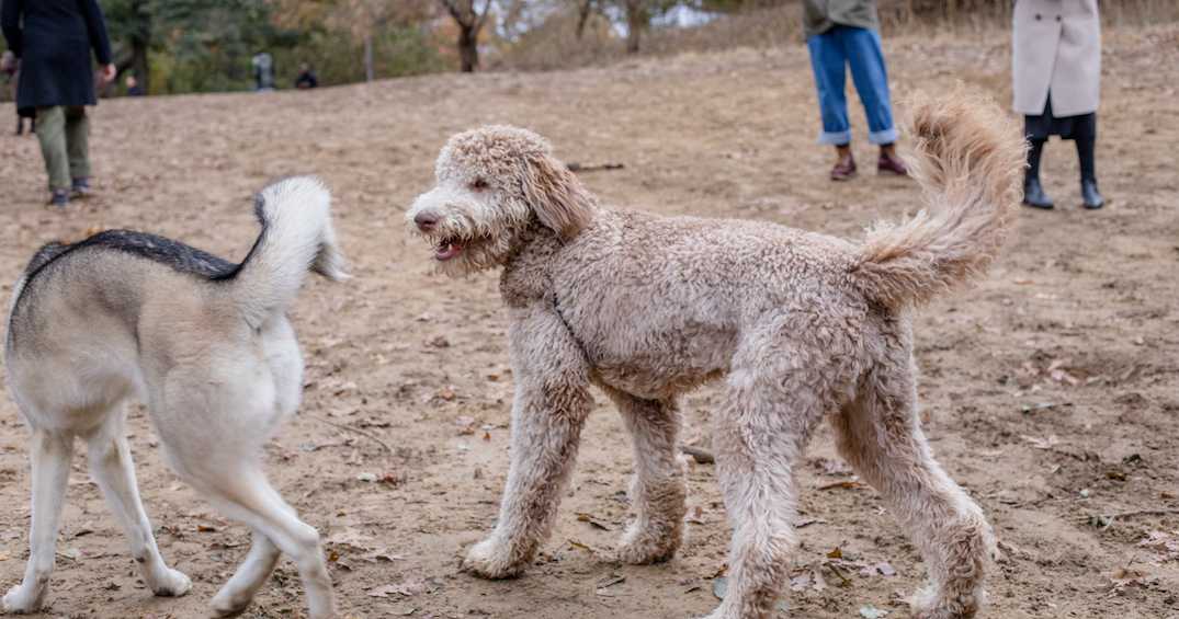 Barking news: Toronto's off-leash dog parks officially reopen today