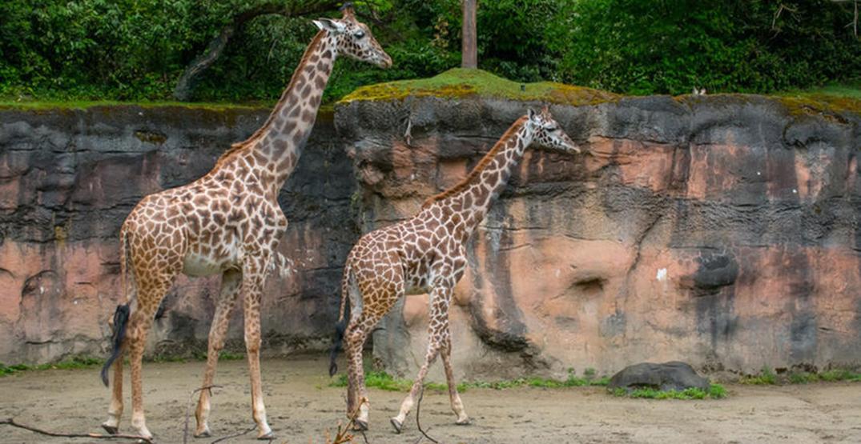 Oregon Zoo welcomes two-year-old Masai giraffe
