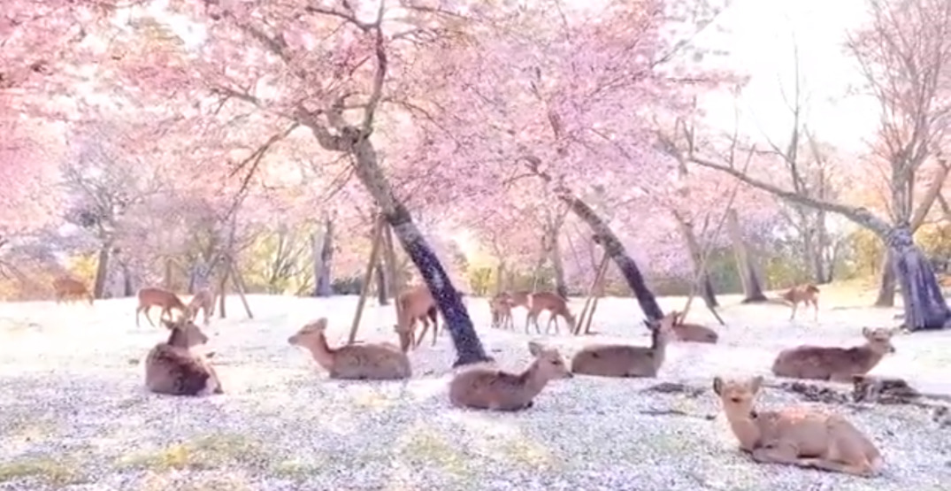 A herd of deer take up residence among cherry blossoms in Japanese park (VIDEO)