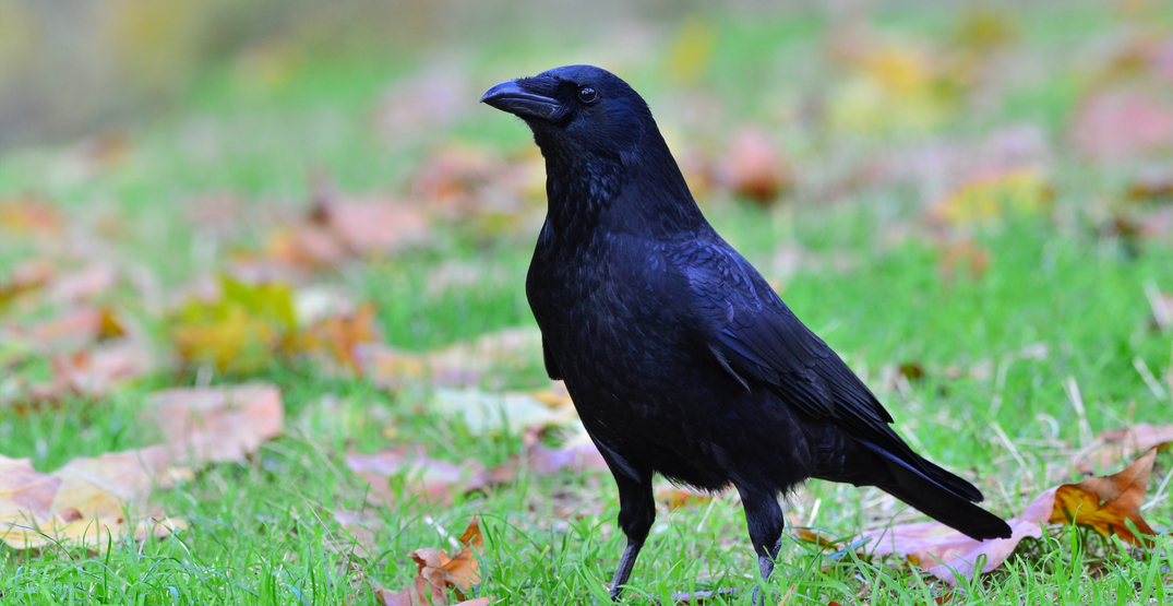5 reasons why crows are civilized