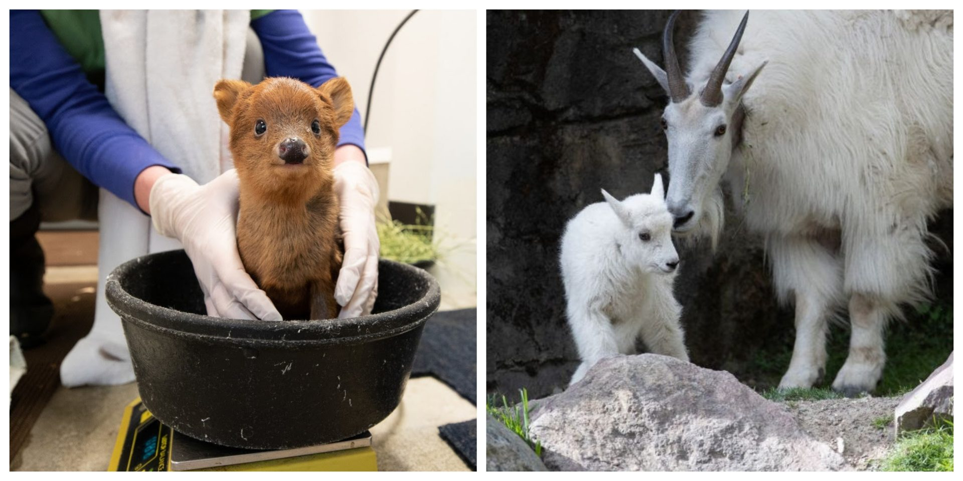 Woodland Park Zoo welcomes new baby fawn and mountain goat