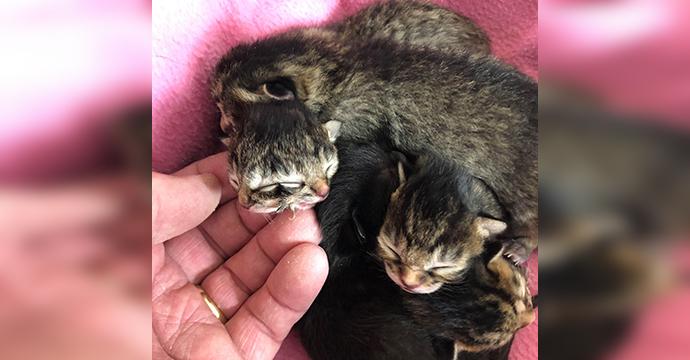 Janus Kitten Image Two