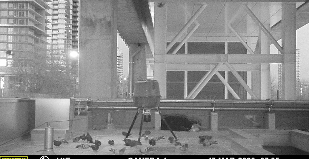 Pigeon birth control program expanded to eight SkyTrain stations