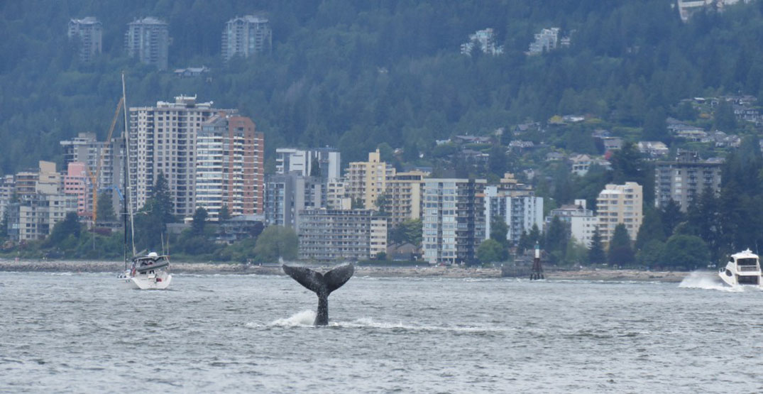 Humpback whale spotted in Vancouver harbour