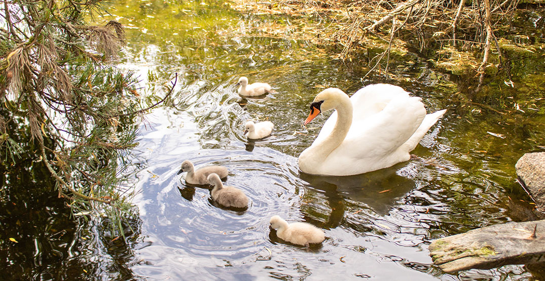 Ambleside's baby swans will soon be removed and sent to a sanctuary