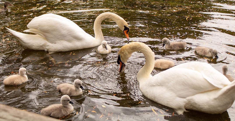 swan parents