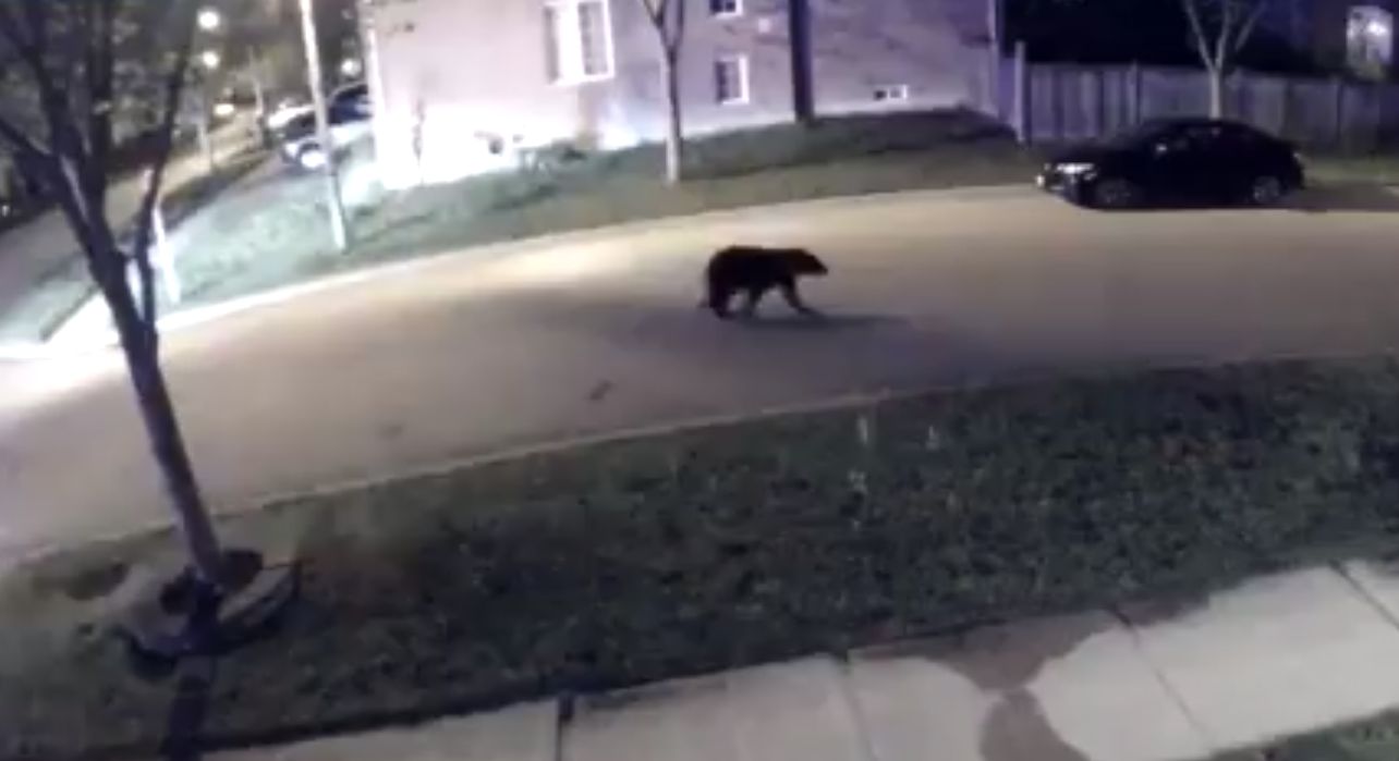 """Black bear spotted in Markham neighbourhood posed """"no risk to community safety"""""""