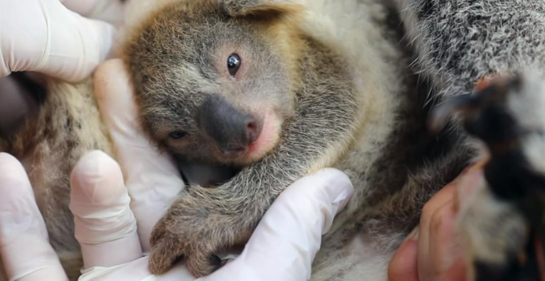 First Koala joey born in Australian wildlife park since bushfires (VIDEOS)