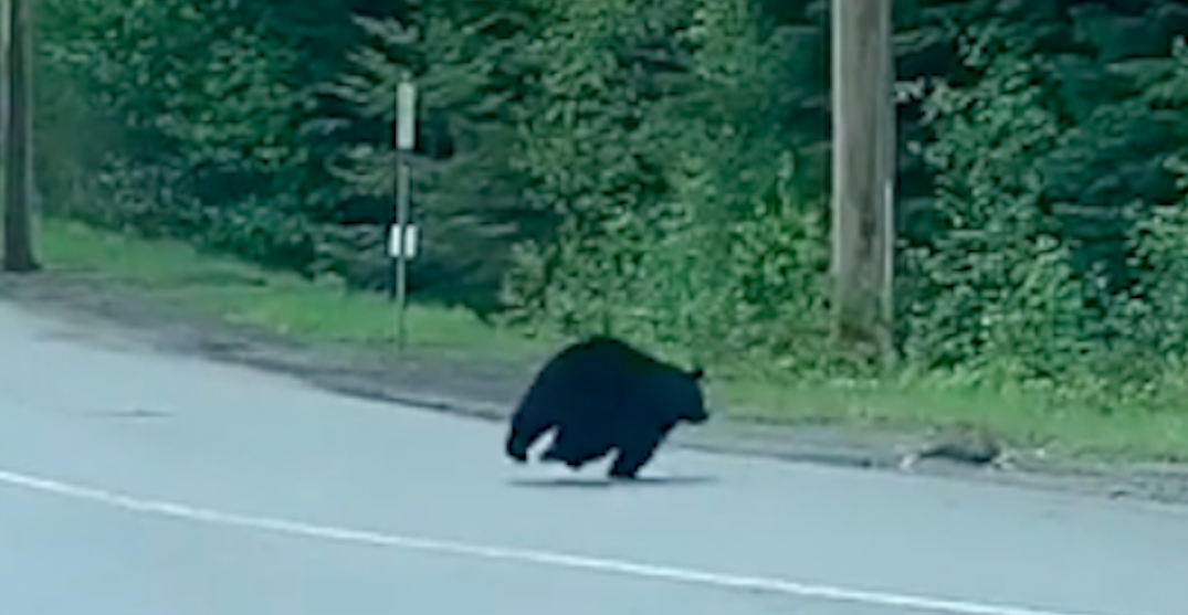 Watch a bear chase down a rabbit near a Whistler bus stop (VIDEO)