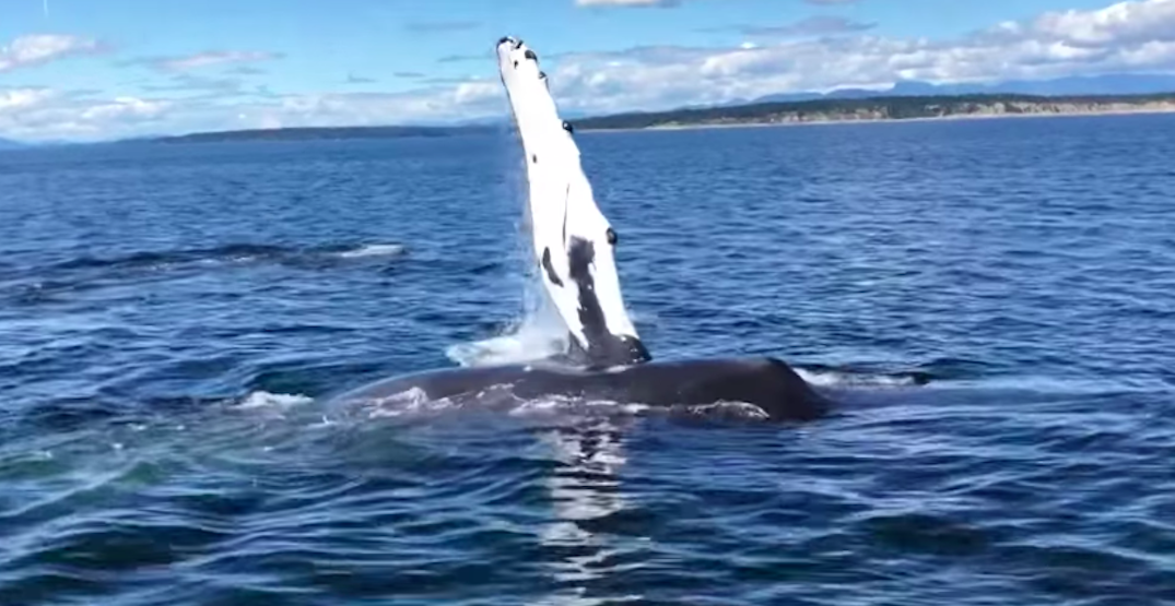 BC tour operator captures stunning close encounter with humpback whales (VIDEO)