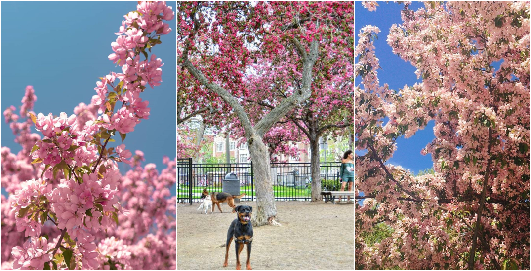Cherry blossom trees are in full bloom in this Montreal park (PHOTOS)