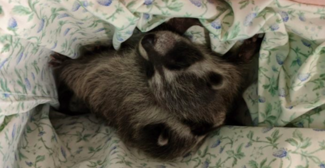 "BC SPCA caring for baby raccoons found ""crying"" for their mother after being orphaned"