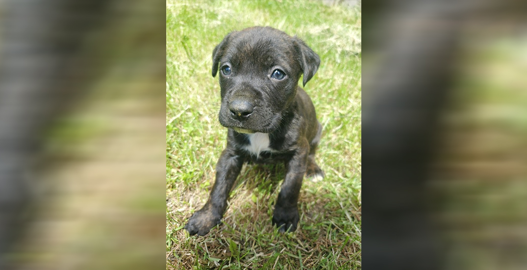 Three suspects allegedly assault man, steal two bulldog puppies