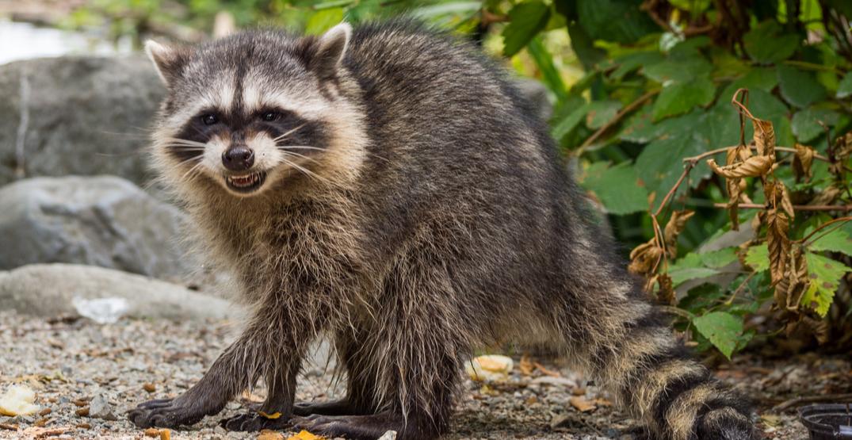 BC woman calls the cops on aggressive raccoon